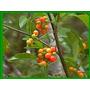 Chalchal- Árbol Nativo Floral, Frutal- Arbusto Autóctono