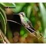 Lamina De Fauna - Aves Del Uruguay - Picaflor Verde