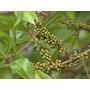 Canelón- Árbol Nativo- Follaje Y Frutos Decorativos- Floral