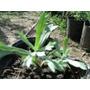 Planta De Artemisa Planta Medicinal Amplias Propiedades