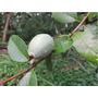 Guayabo Del País-árbol Nativo-floral,frutal,follaje Vistosoh