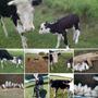 Lechones Y Vacas Con Ternero