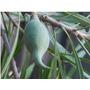 Mataojo-árbol Nativo-flor Perfumada- Hojas Y Frutos Vistosos