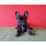 Bulldog Francés Pedigree Kcu Hembra