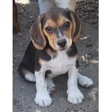 Hermosas Beagle Hembras Tricolores!! 3 Vacunas.