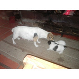 Jack Russell Cachorros.