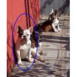 1  Bulldog Frances Blanco Con Manchas 3 Vacunas