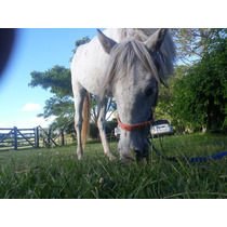 Tordilla Pony