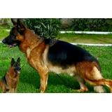 Cachorros Pastor Aleman/ Padres De Pedigre!