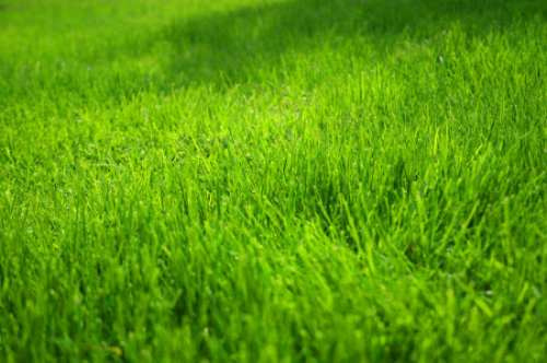 C sped natural en alfombras producci n propia 50 00 for Como plantar cesped natural