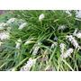 Planta Pasto Ingles (ophiopogon-japonicus)