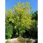 Arce- Árbol Follaje Otoñal Dorado- Crece Rápido,ideal Sombra