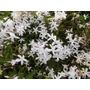 Jazmín Del País-floral, Perfumado- Arbusto,trepadora Perenne