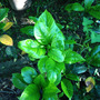 Planta De Jazmin
