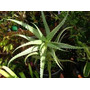 Aloe Arborescens Miller Arborencis Sabila