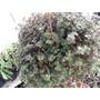 Pilea Glauca Plantas Espectaculares En Maceta Colgante