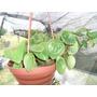 Planta Cola De Raton Verde Claro En Maceta Colgante