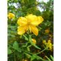 Rama Negra- Arbusto Floral Nativo- Plantas Autóctonas
