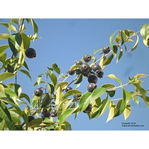 Guaviyu, Arbol Frutal Indigena- Autoctono