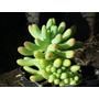 Crasa Sedum Rubrotinctum Planta Del Guante
