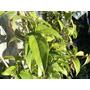 Plantas De Guaco 1mt De Alto Encañadas Waco