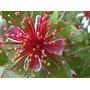Guayabo Del País- Árbol Autóctono, Floral Y Frutal- Nativos