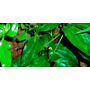 Planta Guaco