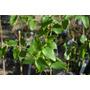 Eucaliptus Globulus, Arbolito De 0,80 Cms En Mac. De 2 Lts.
