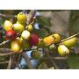 Guayabo Blanco-árbol Autóctono, Floral Y Frutal-flora Nativa