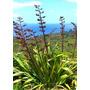 Planta De Formio Para Jardín Cerco O Maceta Para Parque