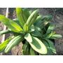 Planta Epilobio Amplias Propiedades Medicinal Prostata