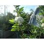 Planta Copo De Nieve Corona De Novia Arbusto Floral