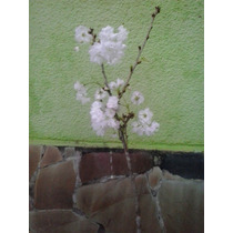 Cerezo Floral Kikuzakura Árboles Cargados De Flores
