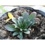 Plantas De Onagra Medicinal