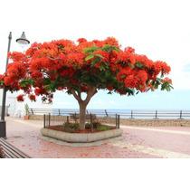 Flamboyant - Arbol De Fuego- Plantas Grandes Bien Enraizadas