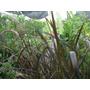 Planta Cola De Zorro Penisetum Rubrum Rubra