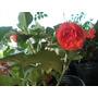 Alegrias Dobles Roja Naranja O Rosada Alegria Doble
