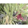 Planta Cactus, Tuna, Suculenta Colgante Hermosa Flor