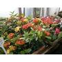 Plantínes Hortensia Japonesa
