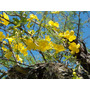 Uña De Gato-enredadera Nativa Floral, Frutos Vistosos-cercos