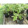 Tomates Cherry Organicos En Maceta Descartable Grande
