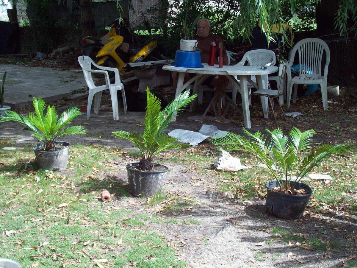 Palmera cycas revoluta palmera de jardin en for Palmeras pequenas para jardin