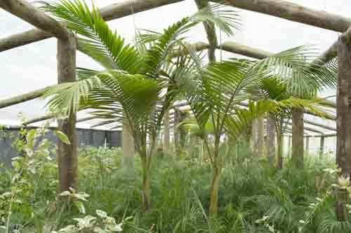 Arboles plantas y arbustos images - Palmeras plantas exterior ...