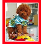 Caniches Microtoy Rojos Pimenton Color Unico!!ultimos Puppys