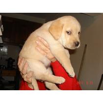 Hermosos Labradores Retrievers!!! Los Mejores!!!