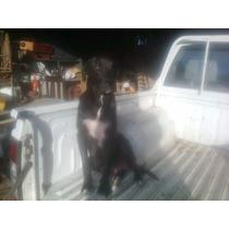Cachorros Cruza Labrador Negro