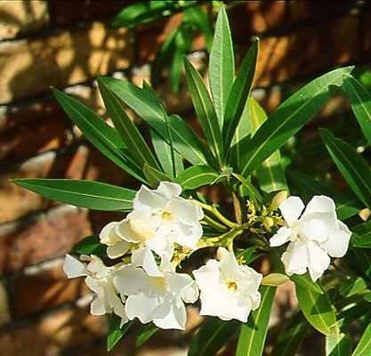 Plantas de laurel de jard n - Laurel de jardin ...