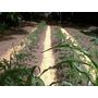 Plantines Horticolas