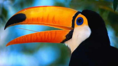 Tucan - Aves Tropicales - Lamina 45 X 30 Cm. - $ 290,00 en MercadoLibre